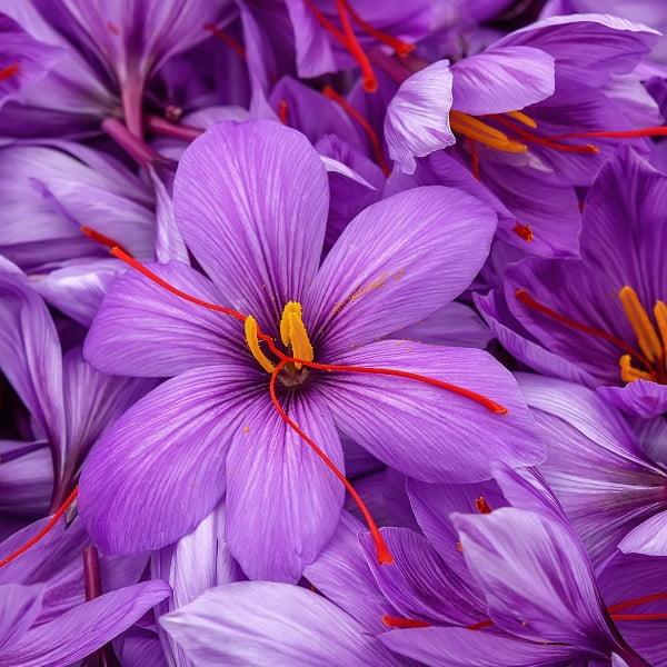 violetinis šafranas